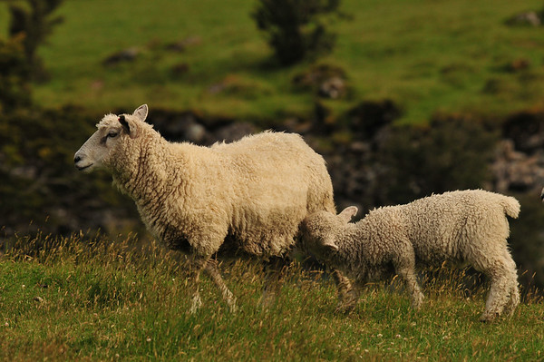 new zealand sheep - f8 and be there