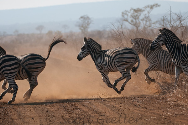 zebras running in kruger park, during an african safari