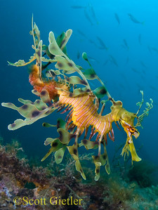 Leafy sea dragon underwater photo