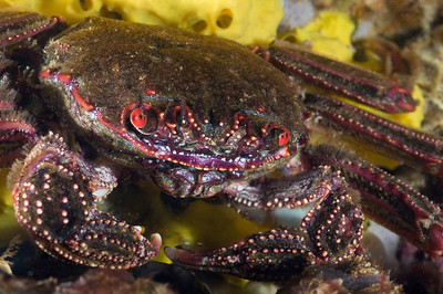 crab underwater photo