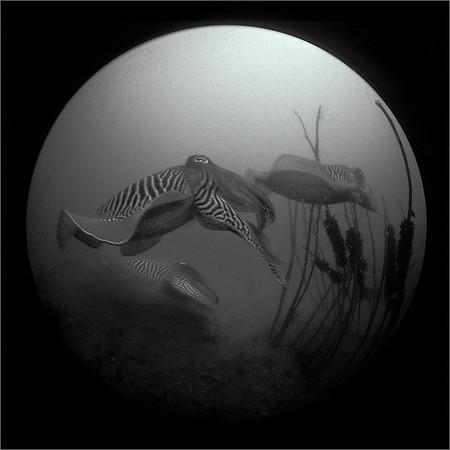 cuttlefish, sigma 8mm fisheye