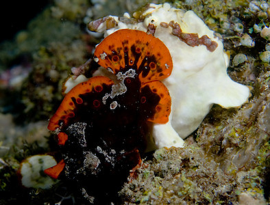 frogfish mating