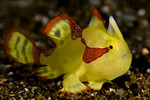 Warty frogfish