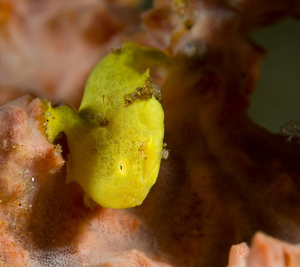 juvenile frogfish