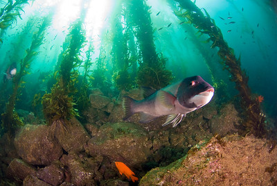 sheephead and giant kelp at catalina