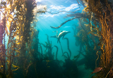 sea lions in kelp, anacapa island