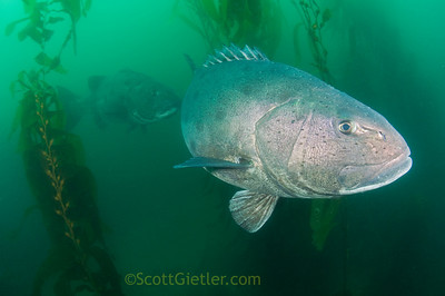 giant black sea bass, anacapa island
