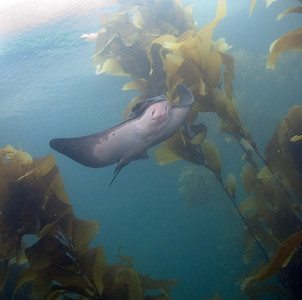 bat ray in kelp, anacapa island