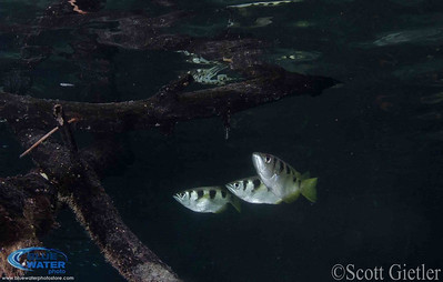 raja ampat archerfish