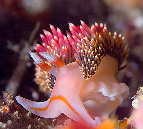 hiltons aeolid nudibranch