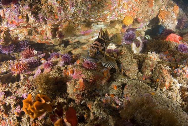 rockfish photo at santa cruz island