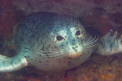 harbor seal, santa cruz island