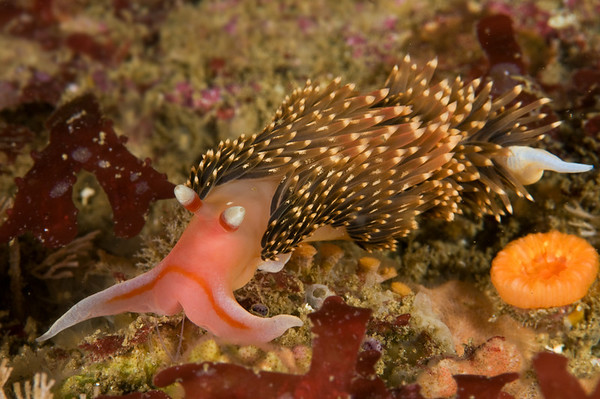 Aeolid nudibranch showing oral tentacles, rhinophores, and cerata