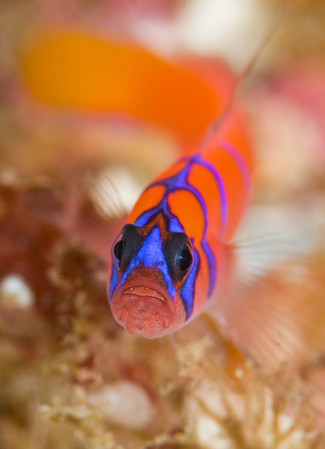 underwater macro photograph of a catalina goby