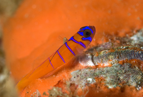 catalina goby photograph