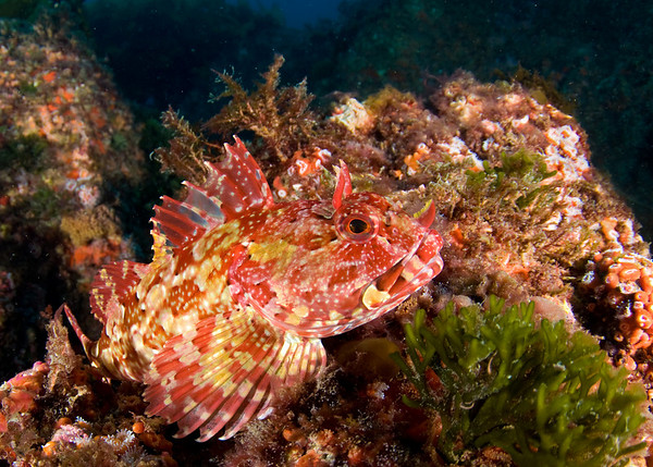cabezon at farnsworth banks, cfwa underwater photo