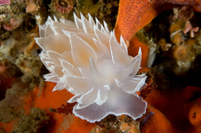 Dirona nudibranch with nikon 60mm lens