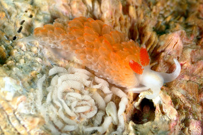 rare nudibranch southern california underwater
