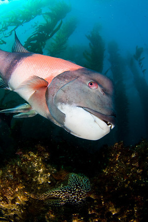 underwater photography sheephead in a kelp forest, santa cruz island