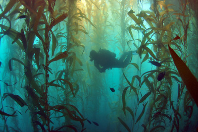kelp at santa cruz island