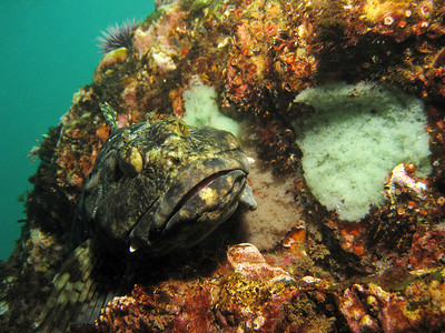 cabezon with eggs, underwater california