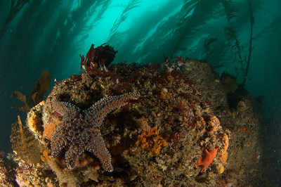 underwater photography of a sunflower star