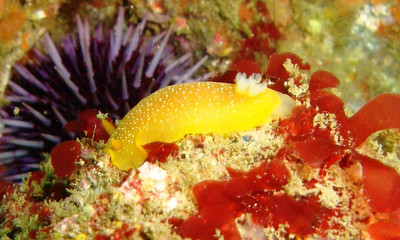 california nudibranch underwater photo