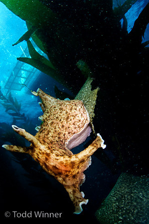 sea hare in kelp, southern california