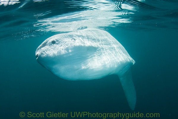 mola mola sunfish underwater photo