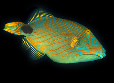 triggerfish with good color