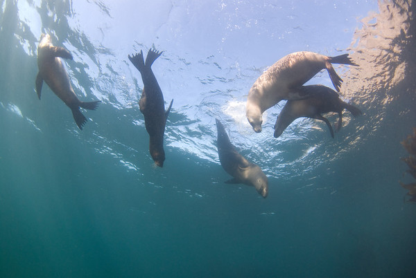 Sea lions, southern california
