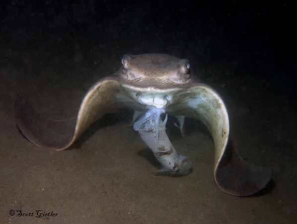 bat ray feeding on squid