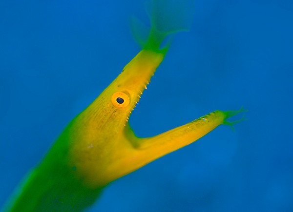 ribbon eel underwater photo with blue background