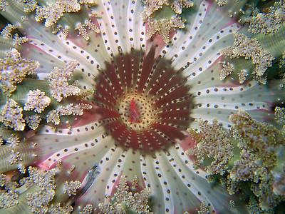 stinging anemone, lembeh straits