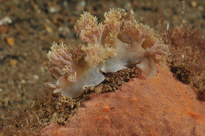 Marionia nudibranch