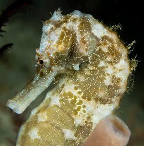 giant seahorse anilao phillipines