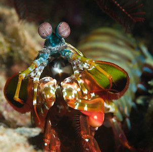 mantis shrimp, better colors underwater