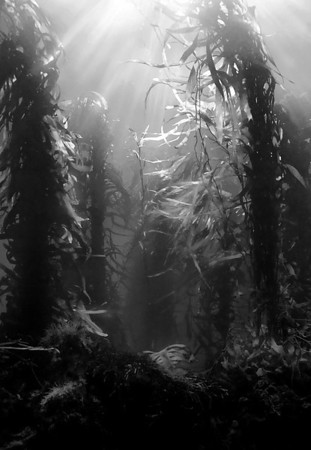Black and white kelp scene from australia photo by cal mero oly sp350 f11 1 90th iso 200 the high degree of contrast helps make this a nice black and