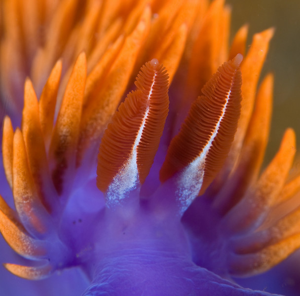 spanish shawl supermacro shot