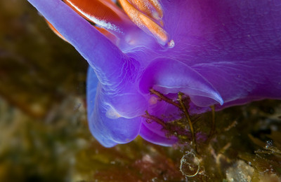 spanish shawl nudibranch feeding