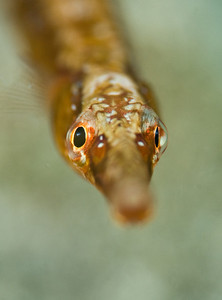 Pipefish at Catalina Island