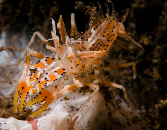 Tiger shrimp, bali, subsee diopter