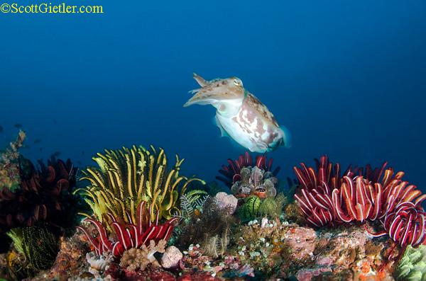 cuttlefish, bali
