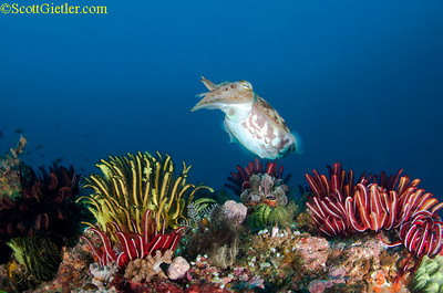 cuttlefish photo with great colors