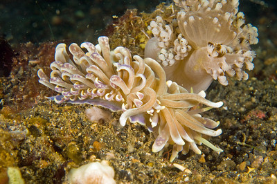 solar powered nudibranch, lembeh