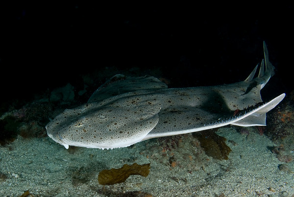 angel shark underwater photo taken with fisheye lens