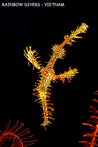 ghost pipefish, vietnam