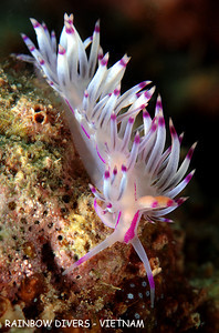 nudibranch from underwater in vietnam