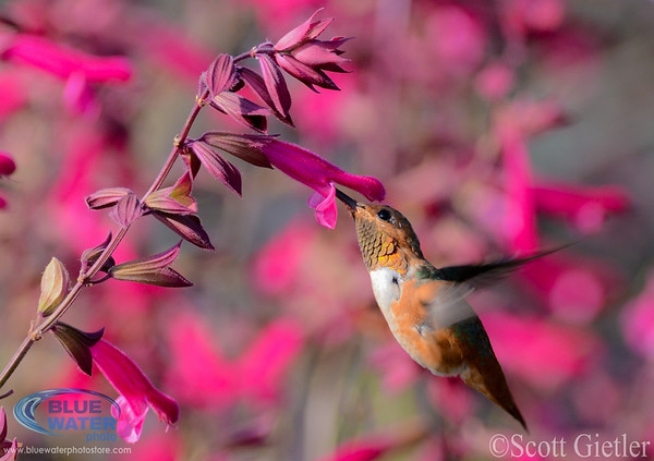 Hummingbirds July 2012